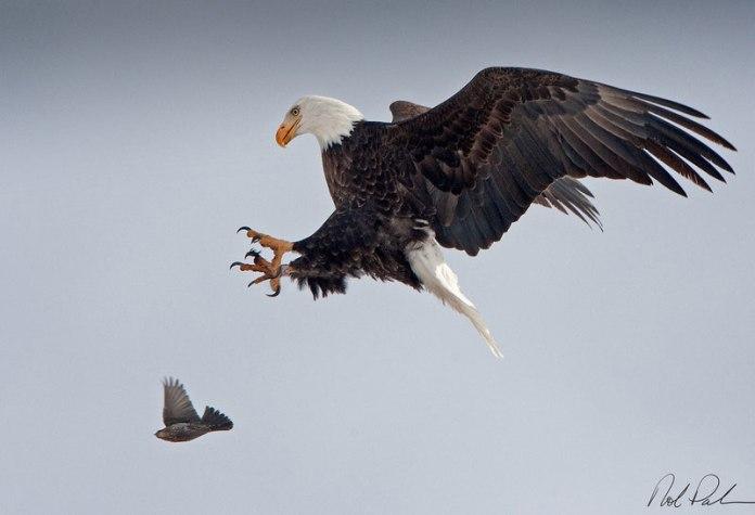rob-palmer-bald-eagle